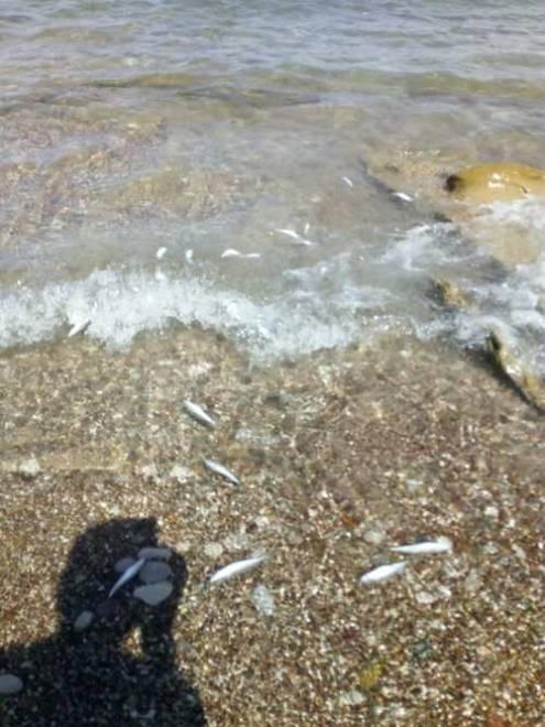 Αχαΐα: Νεκρά ψάρια ξεβράστηκαν στην παραλία Νιφορεΐκων