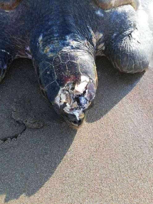 Εθνικό Πάρκο Κοτυχίου-Στροφυλιάς: Γέφυρα σωτηρίας για τραυματισμένη θαλάσσια χελώνα
